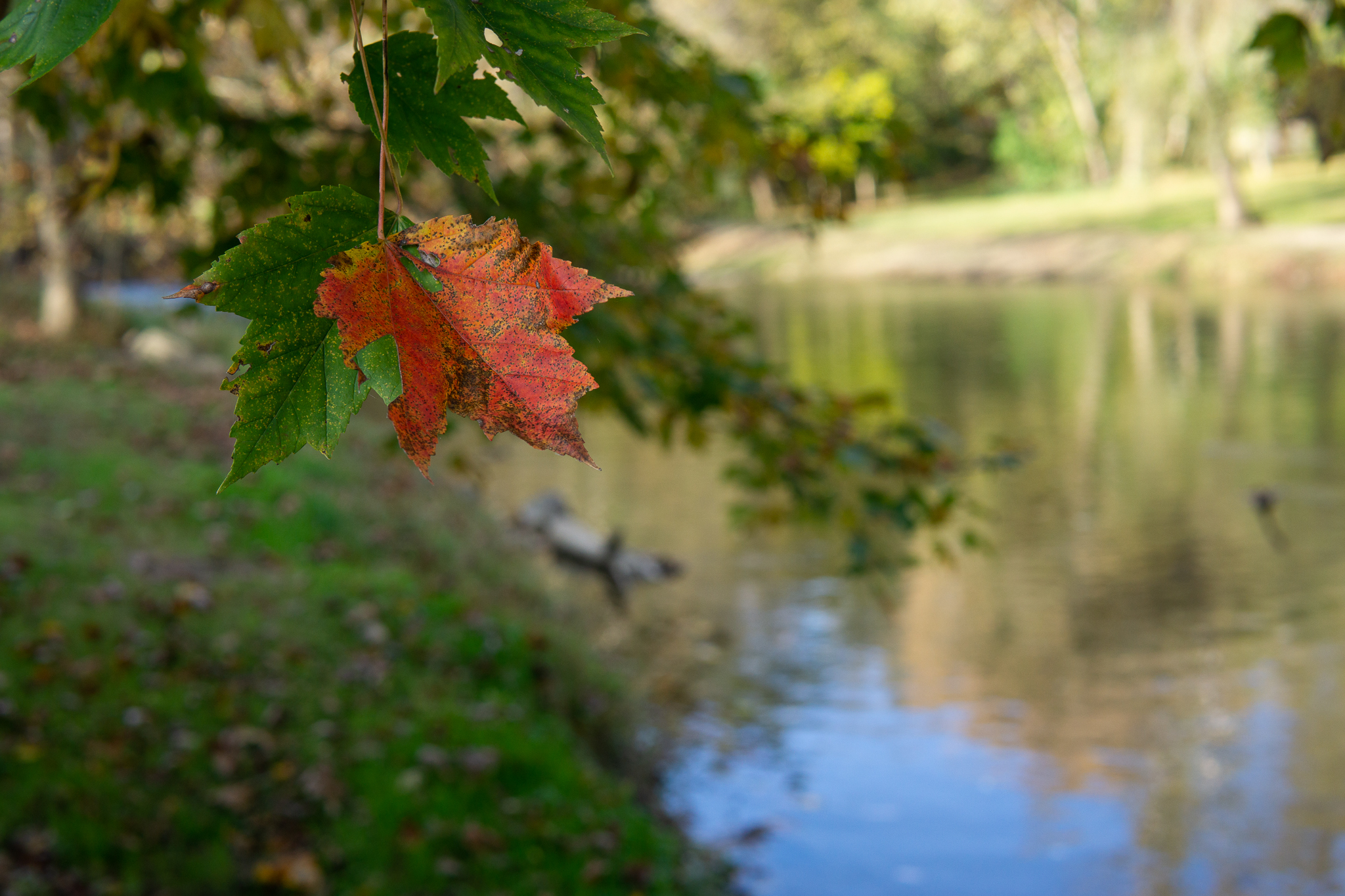 Maple Leaf by the creek